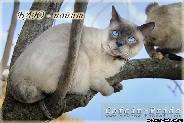 bobtail cat blue point male