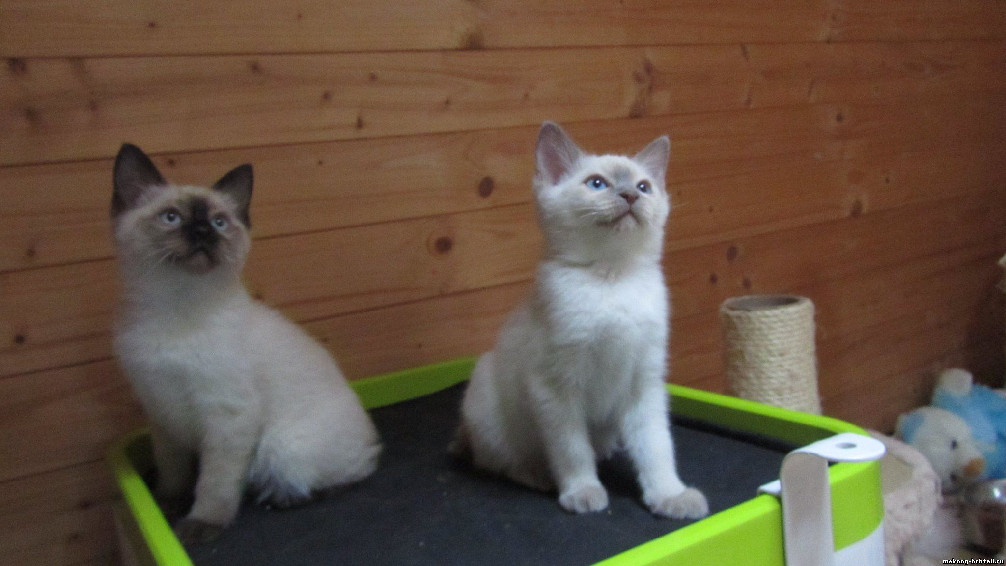mekong bobtail kittens Czech Republic