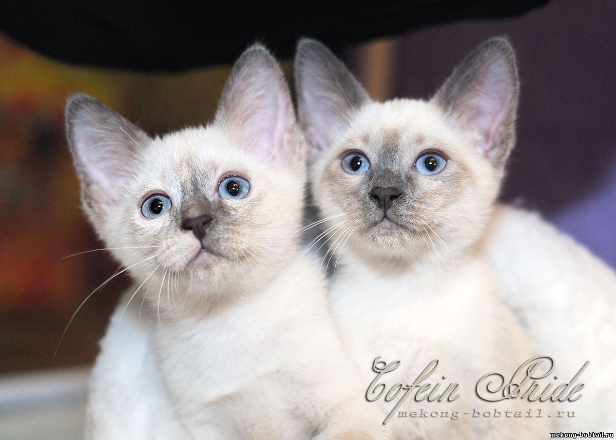 тайский бобтейл блю-пойнт кошка