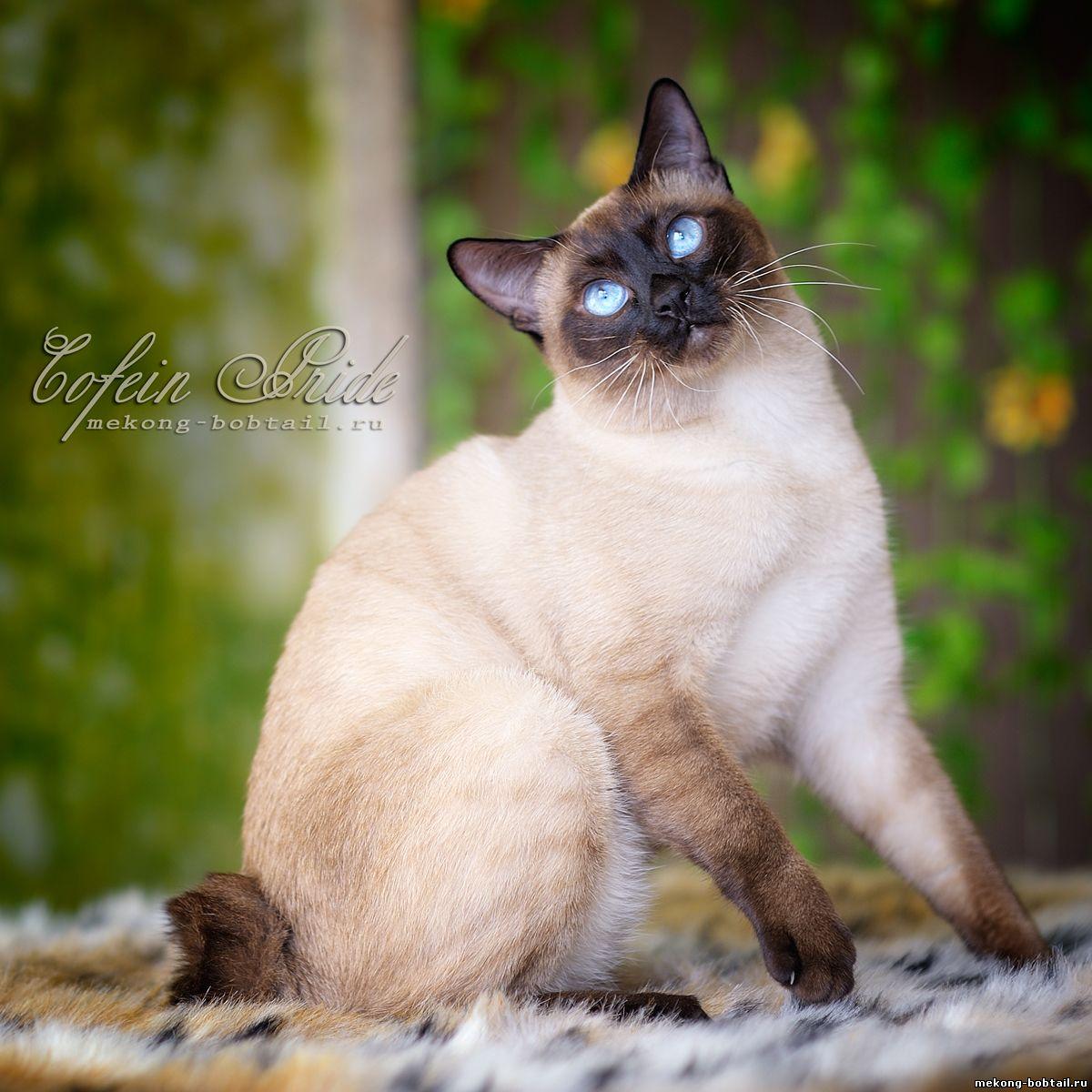 меконгский бобтейл кот сил-пойнт