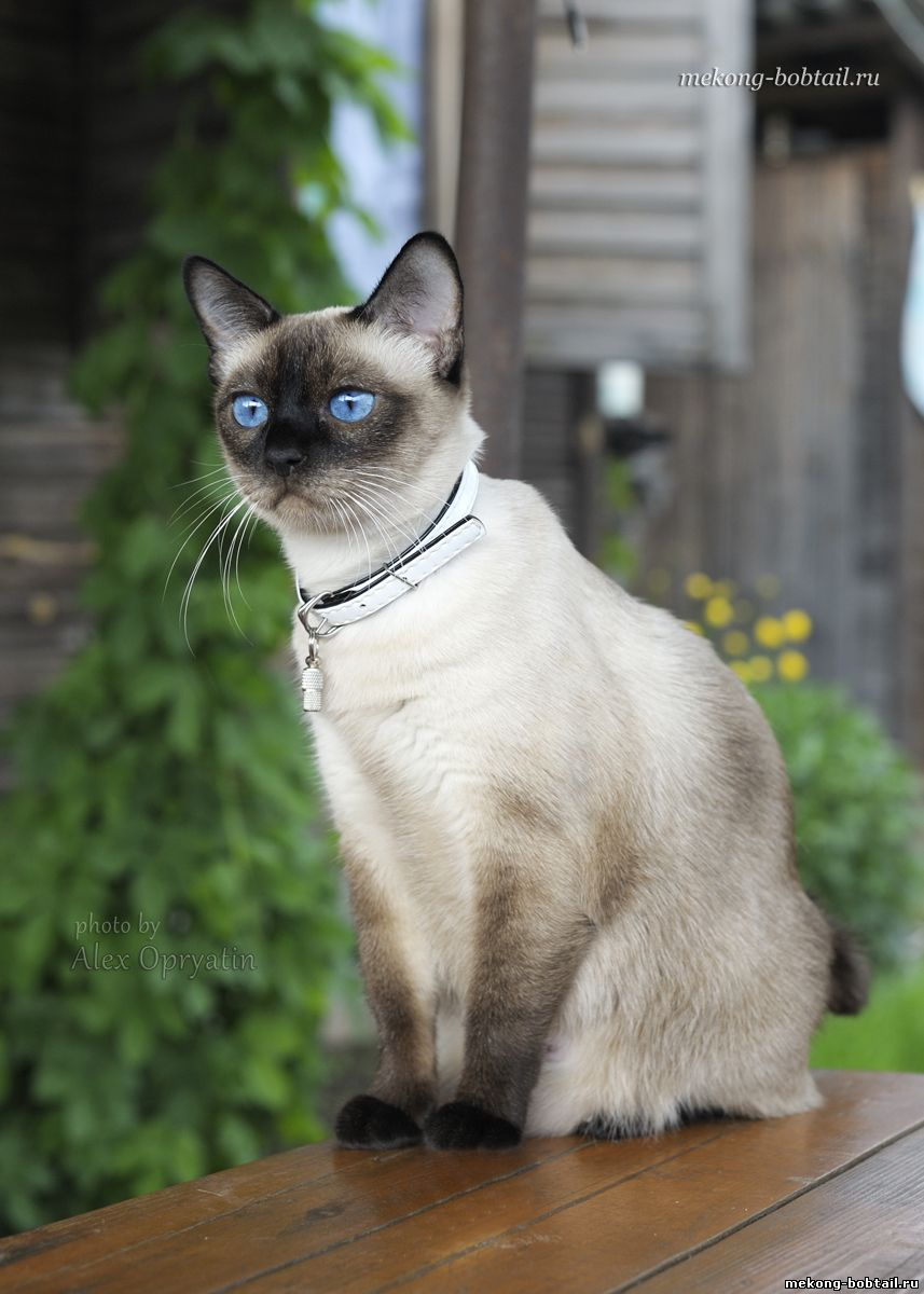 bobtail cat female seal-point