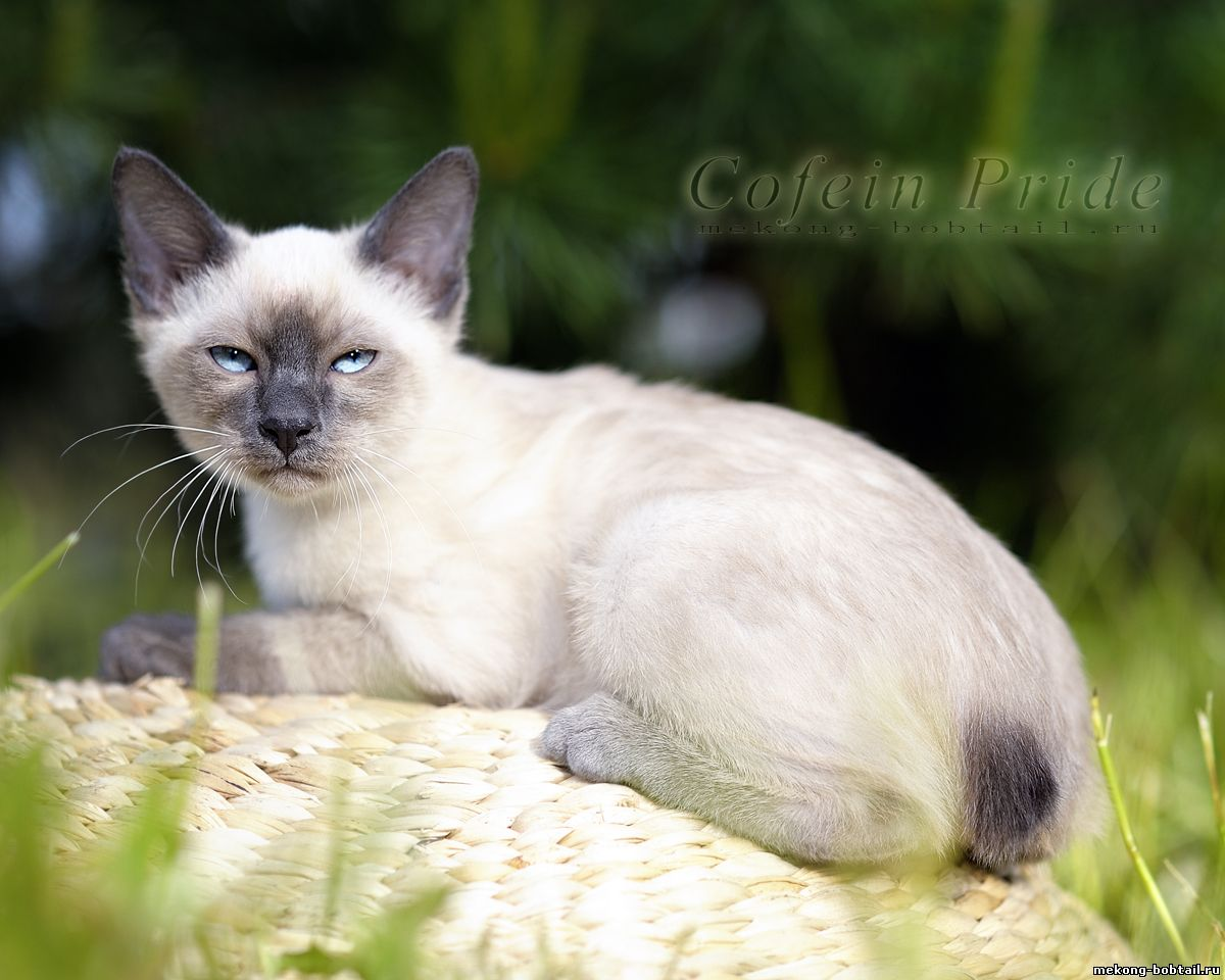 bobtail female blue point
