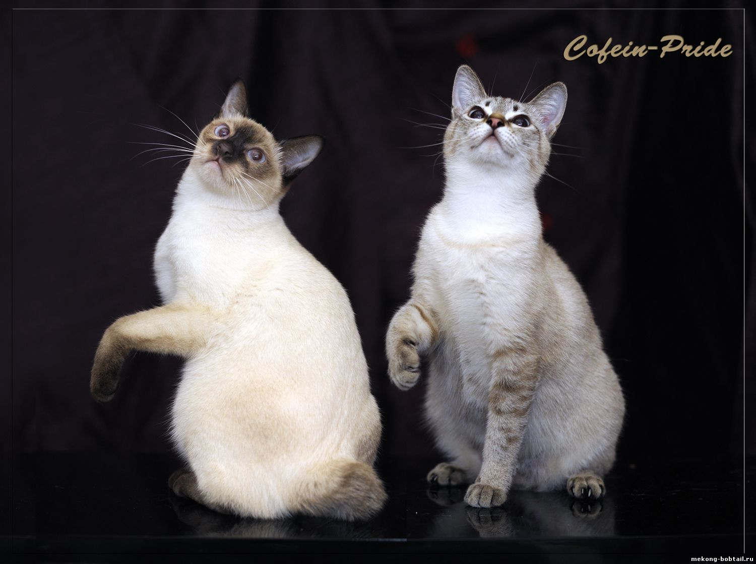 Mekong Bobtails von Cofein Stolz Cattery: chocolate-point, seal tabby point.