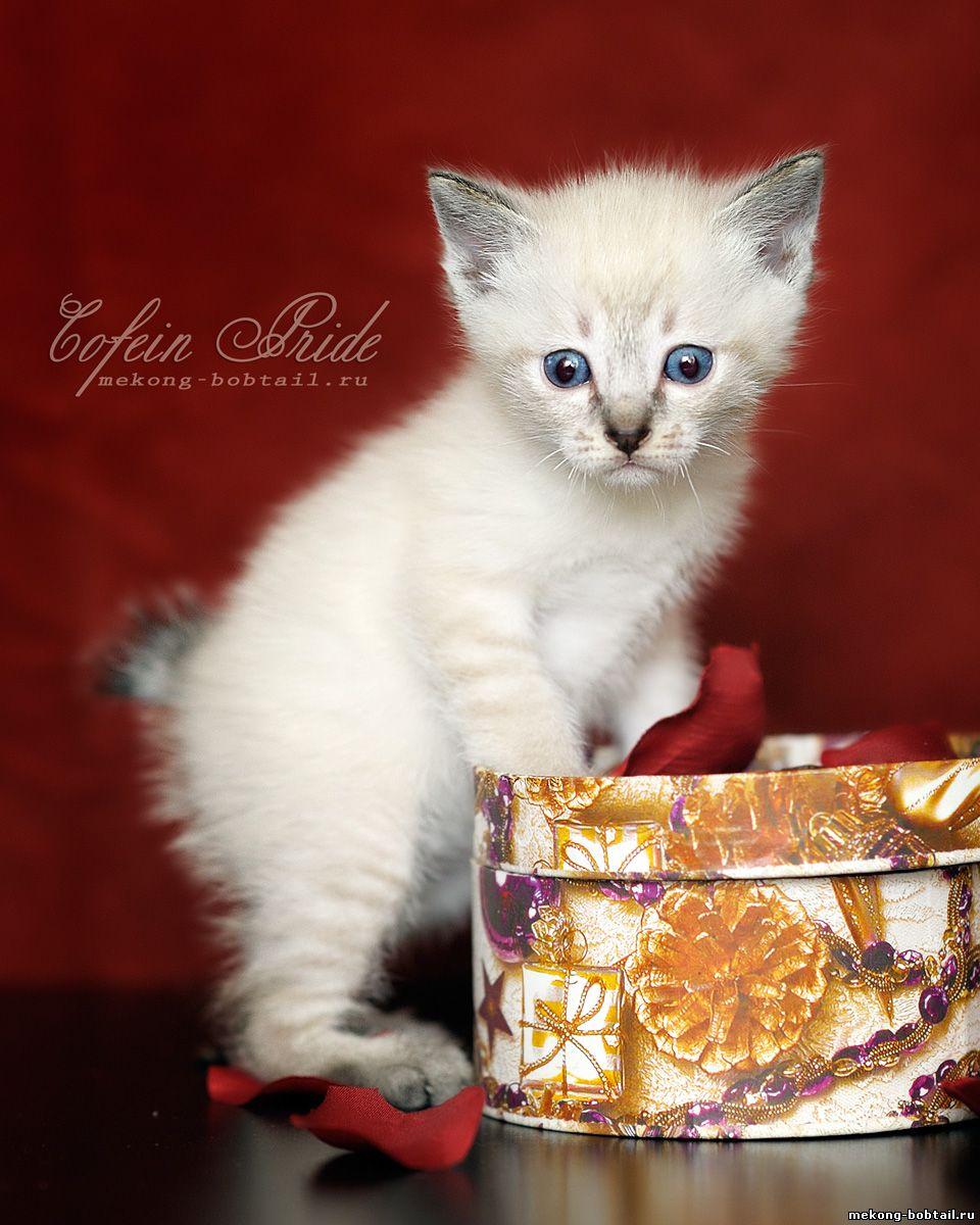 купить котёнка бобтейла