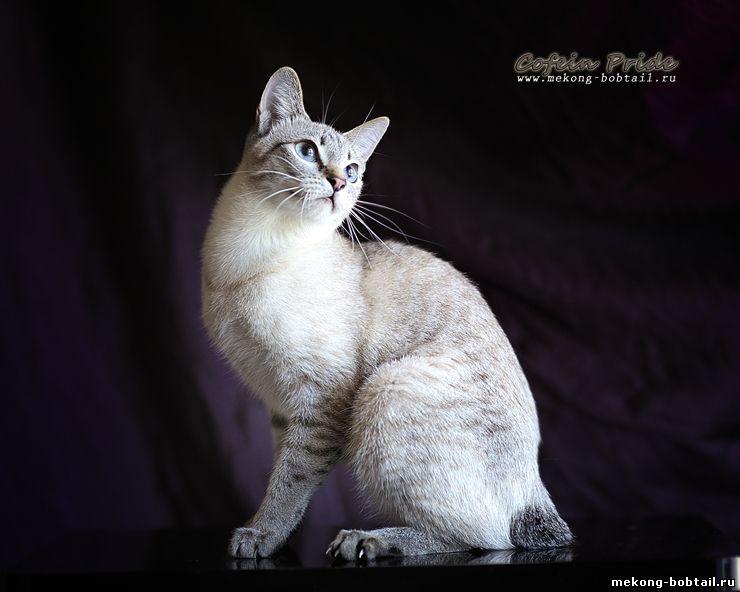 mekong BOBTAIL cats