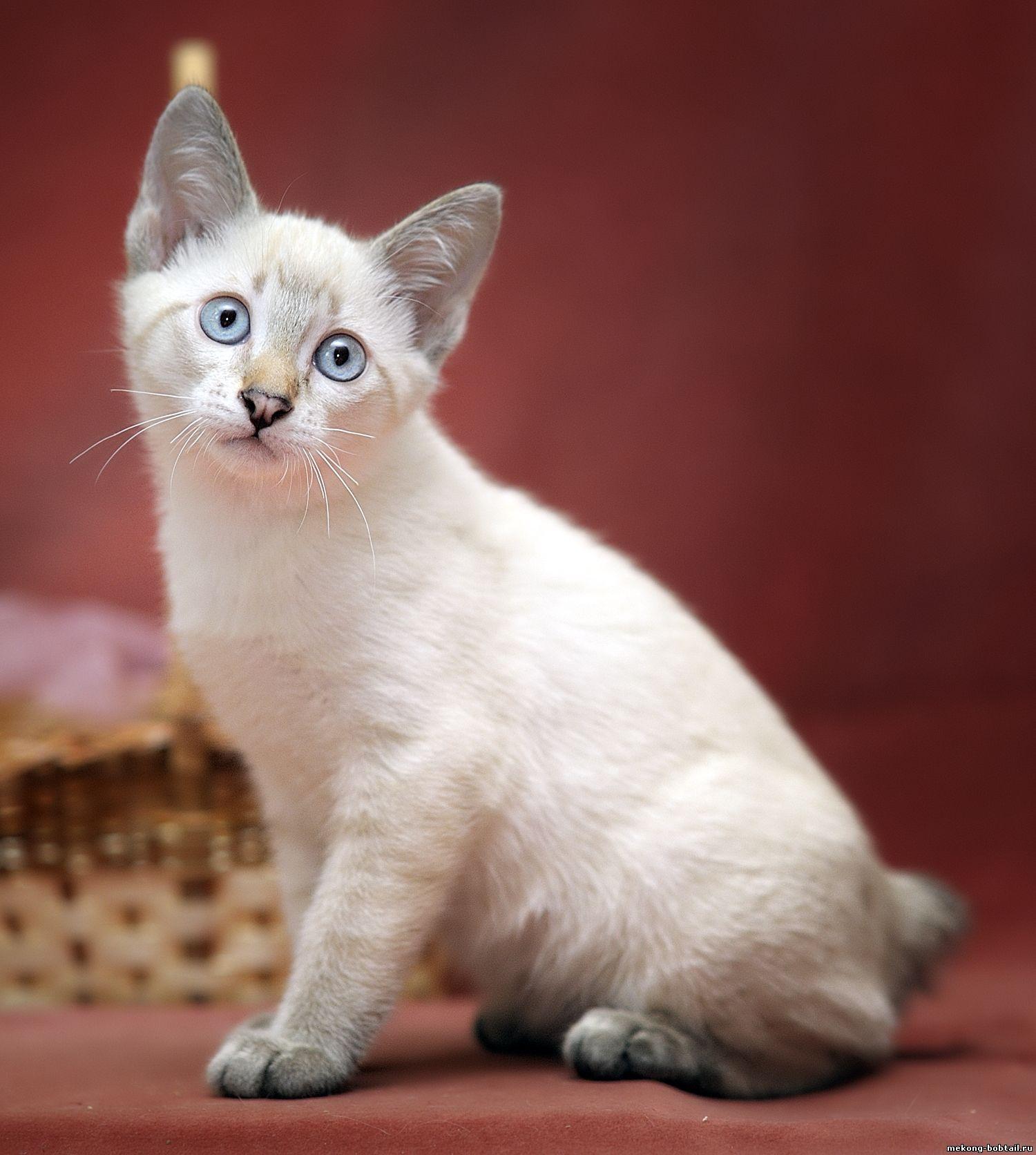 Bobtail Katze Tabby