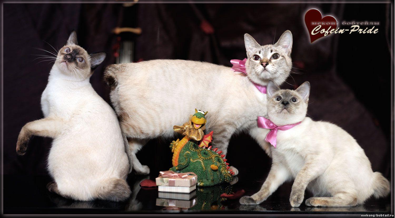открытки с меконг-бобтейлами