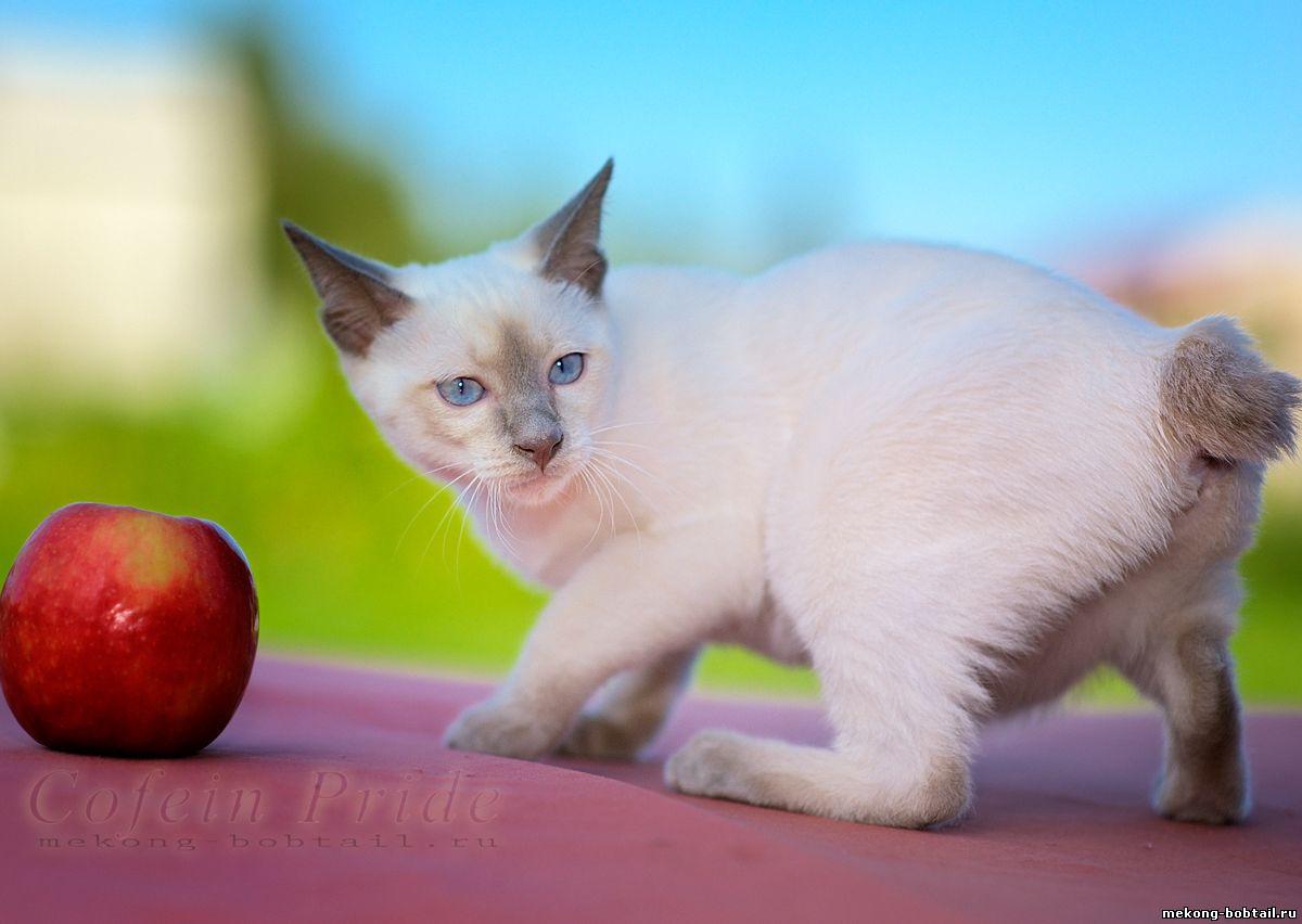 купить котёнка бобтейла лайлак-пойнт