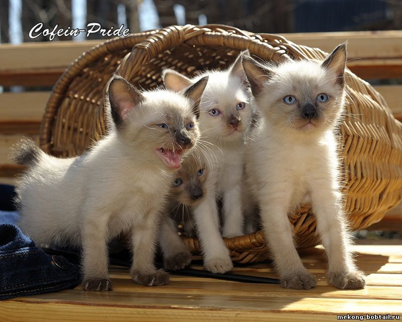Купить котёнка меконгского бобтейла в питомнике