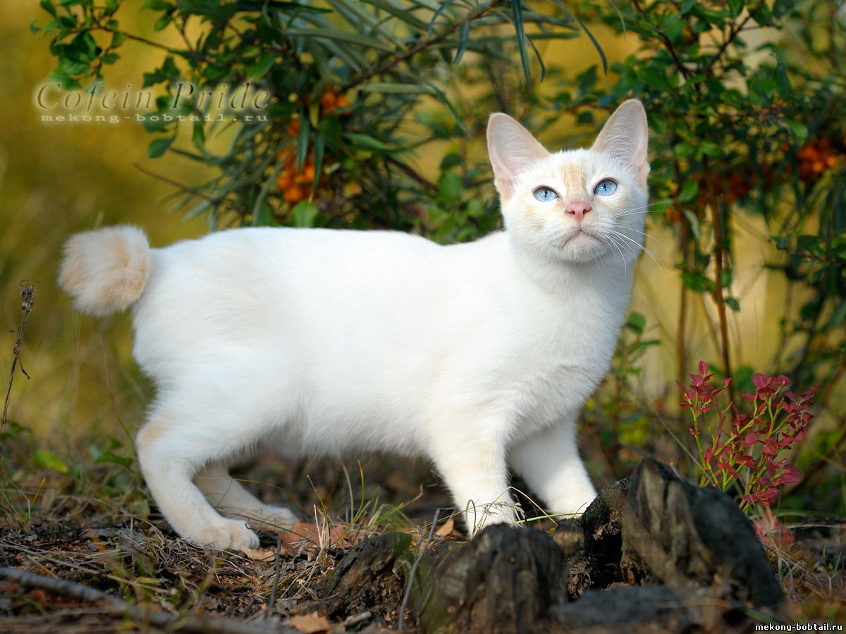 mekong bobtail kitten for sale cream-point