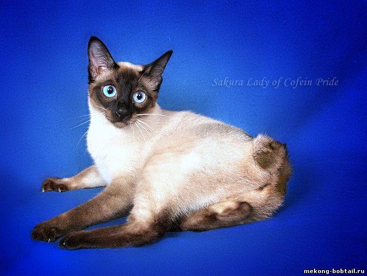 Всё об удивительной породе короткохвостых кошек Меконгский Бобтейл