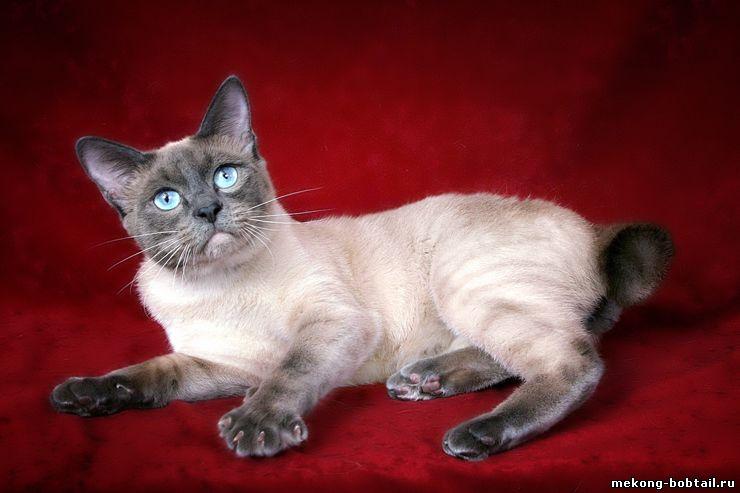 кот тайский бобтейл блю-пойнт Алерус