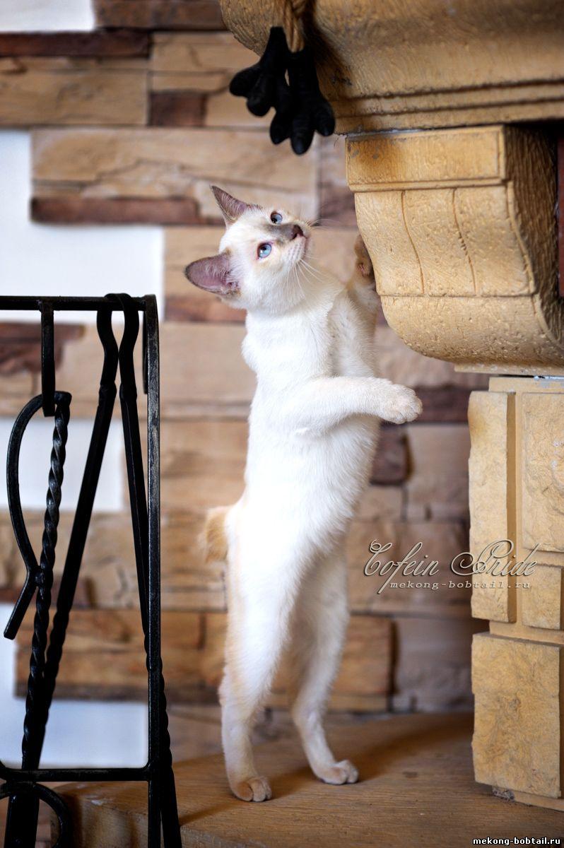 бобтейл котята