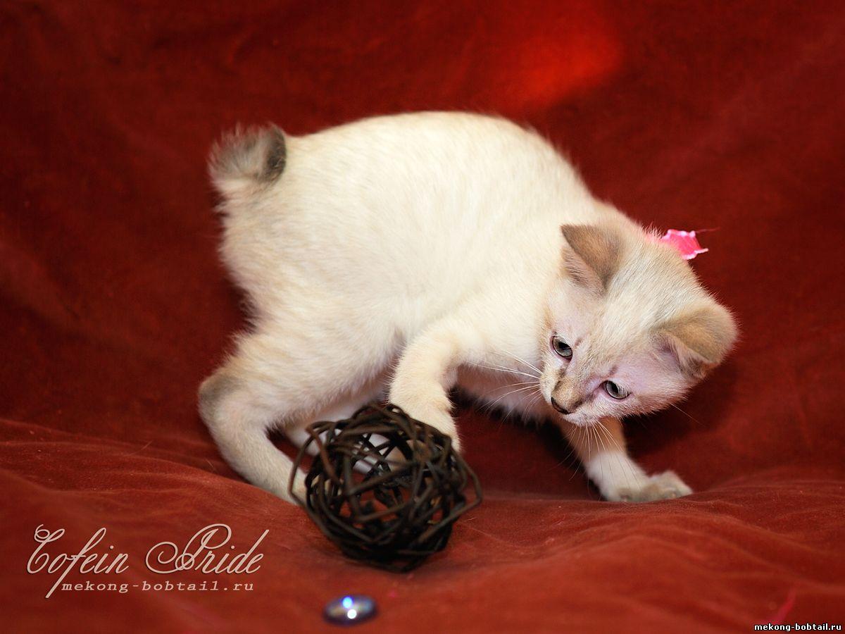 меконгский бобтейл котята блю-табби-пойнт