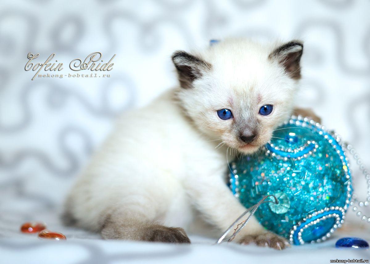 тайский бобтейл котик лайлак-пойнт
