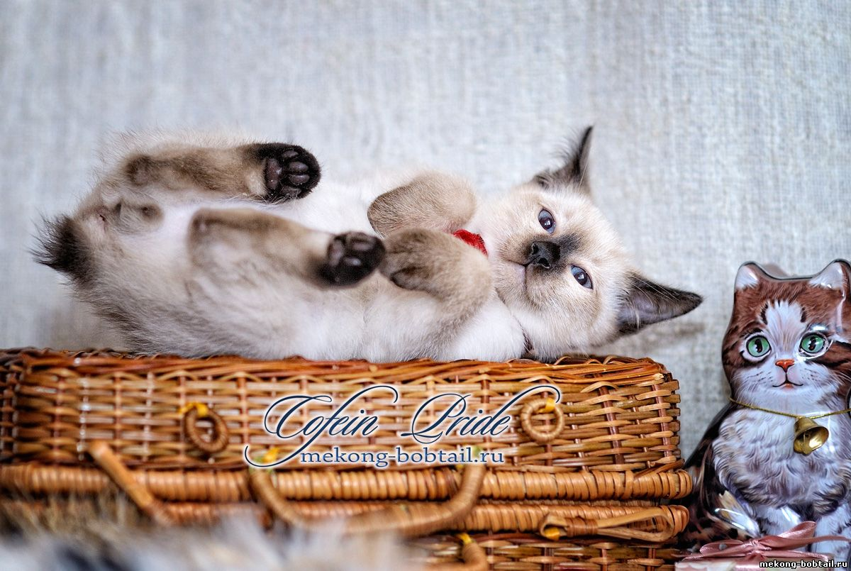by bobtail kitten