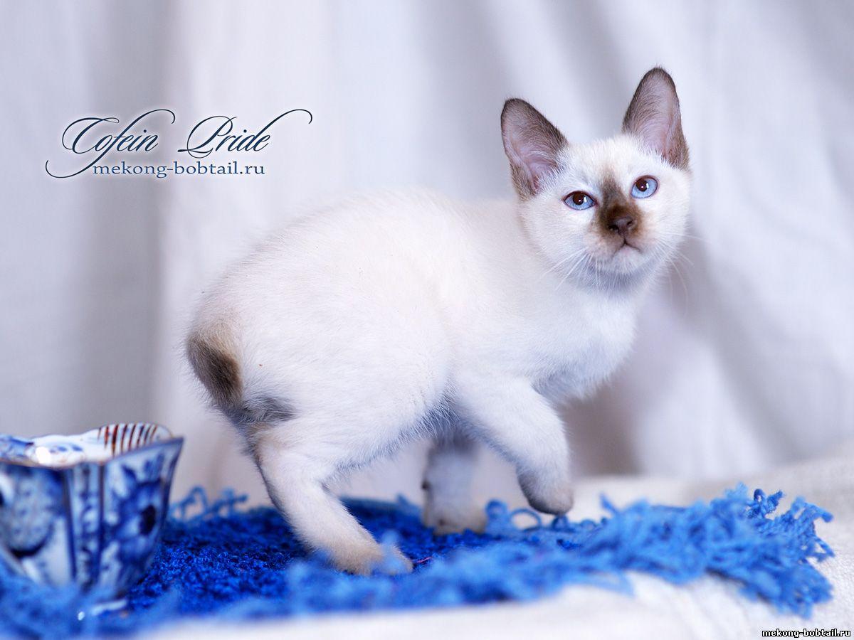купить котёнка тайского бобтейла